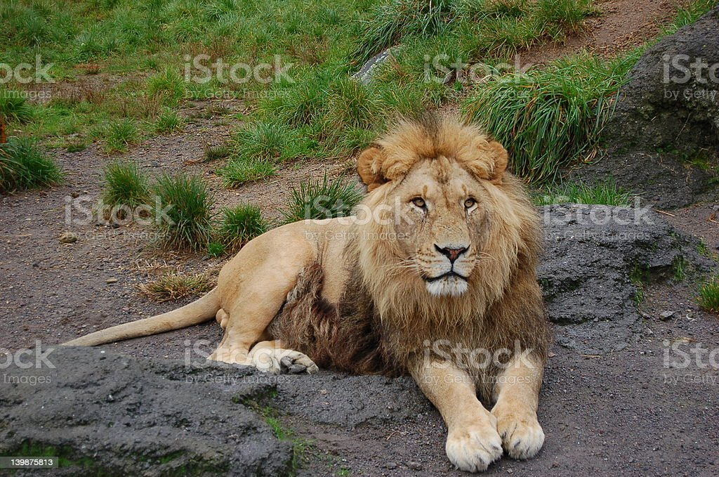 lion at rest 5252 stock photo