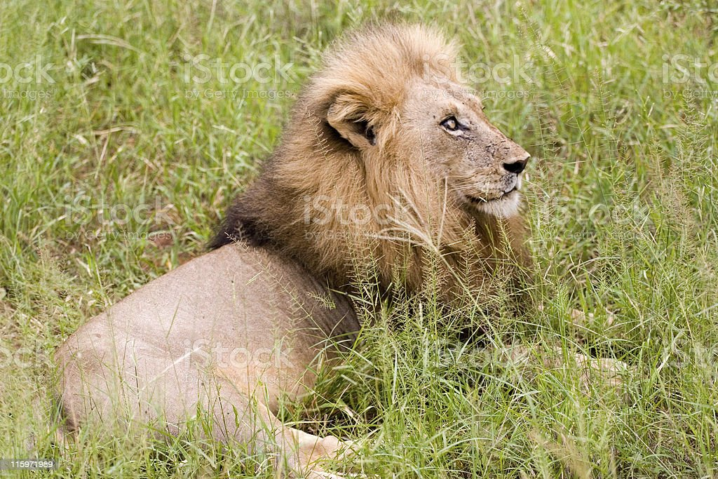 lion at rest royalty-free stock photo