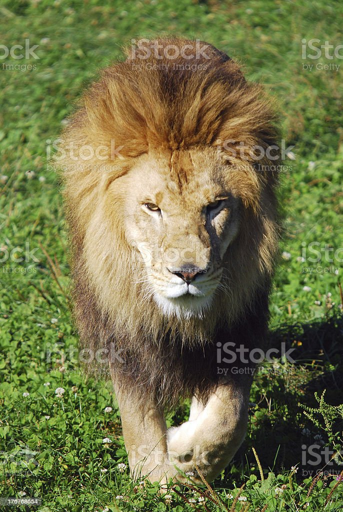 Lion at safari park royalty-free stock photo