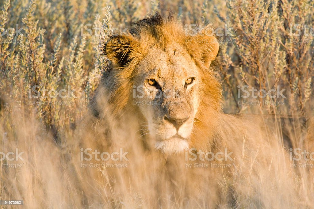 Lion at Sunset royalty-free stock photo