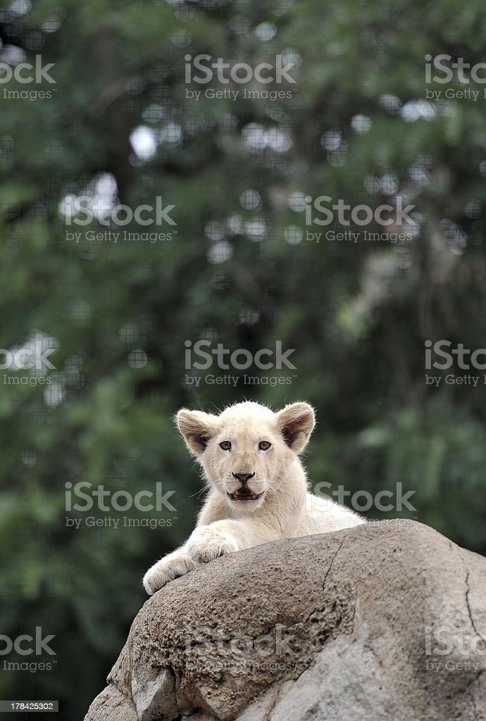 Le?o B?b?, Baby Lion royalty-free stock photo