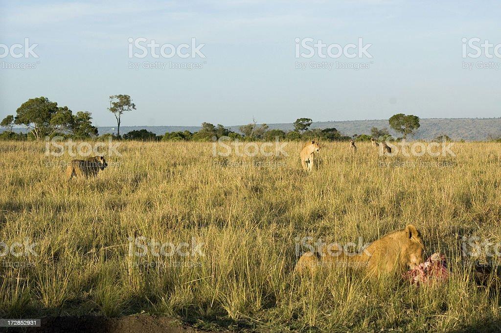 Lion Behavior royalty-free stock photo