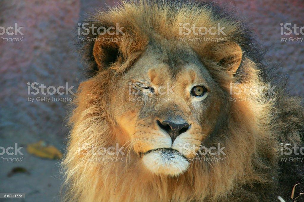 lion binking stock photo