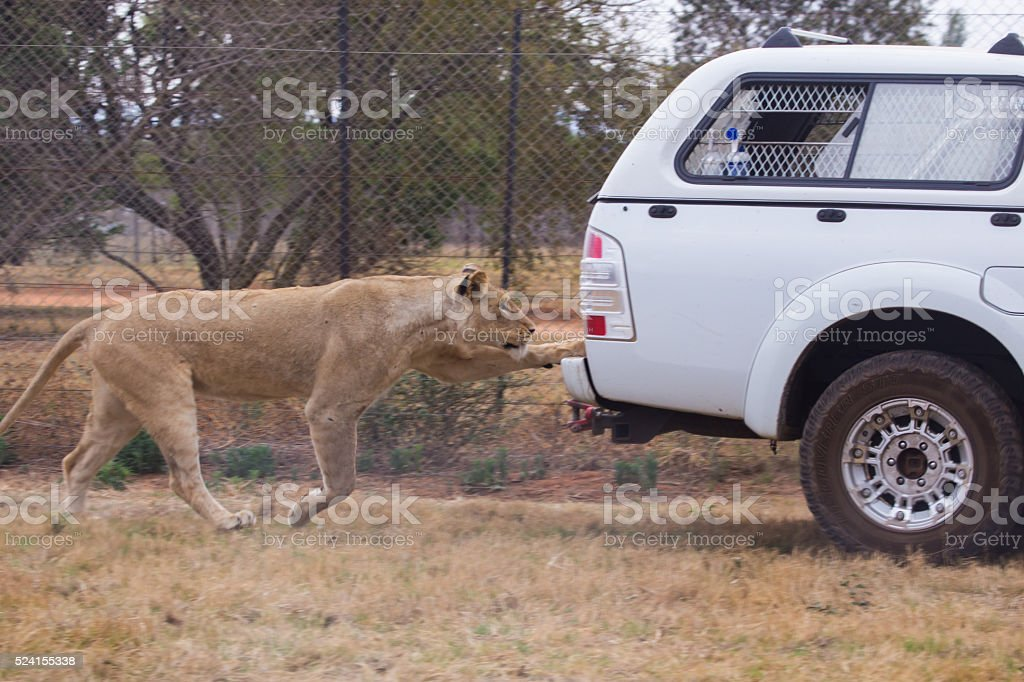 Lion chasing machine, South Africa stock photo