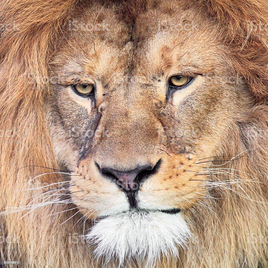 Lion close-up portrait stock photo