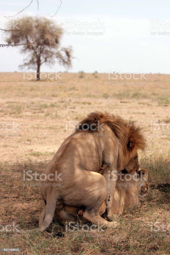 lion copulation stock photo