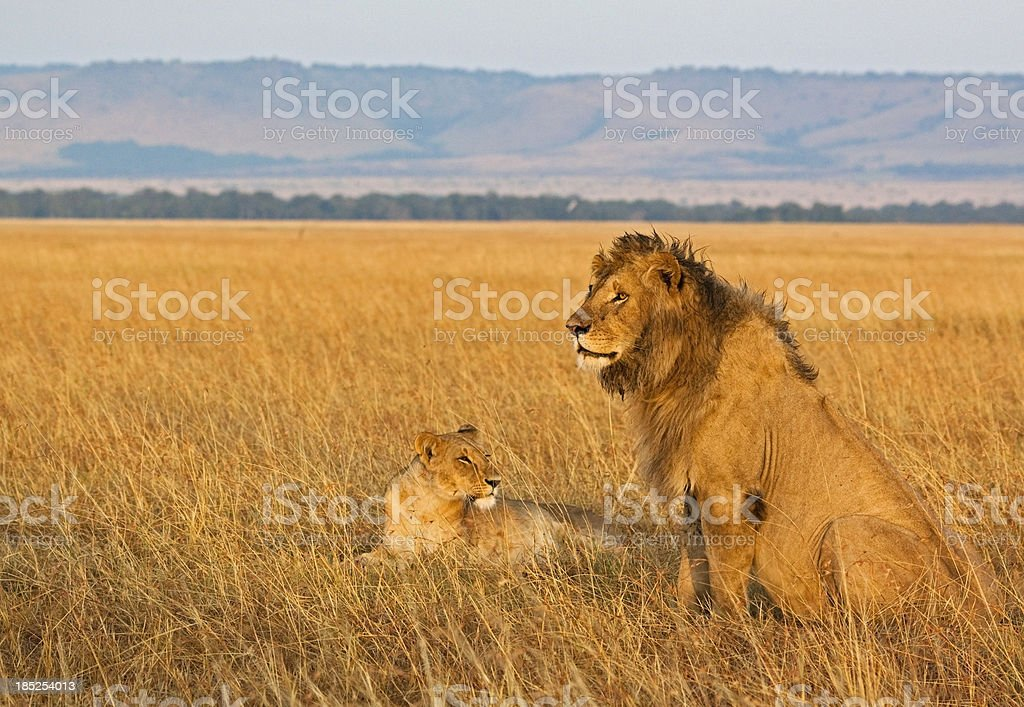 Lion couple in morning light royalty-free stock photo