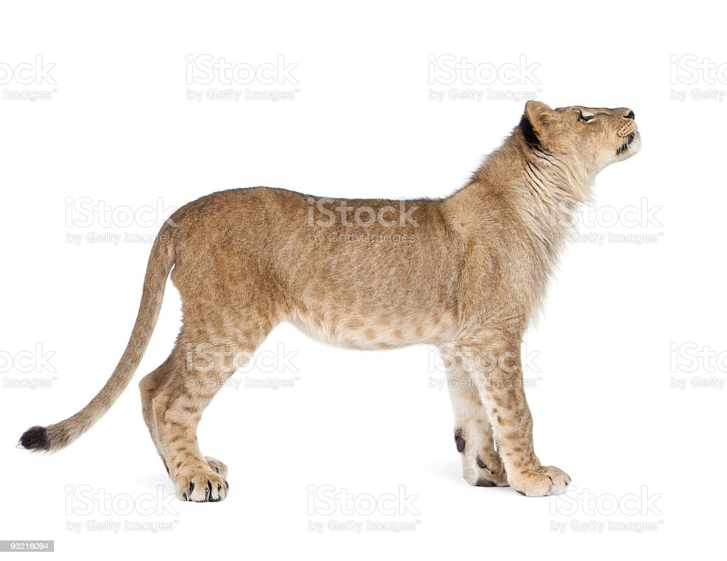 Lion cub 8 months royalty-free stock photo