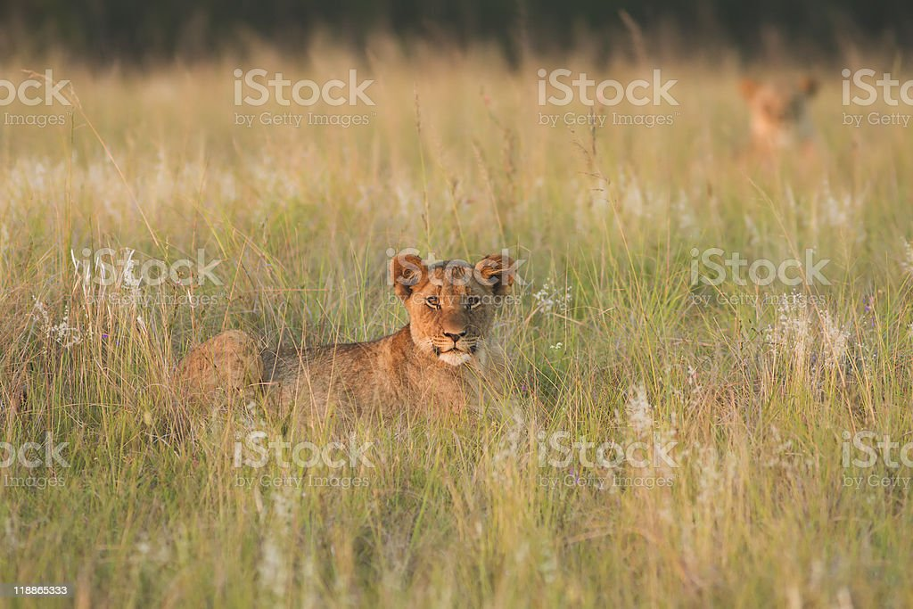 Lion cub and mother bathed in late afternoon light stock photo