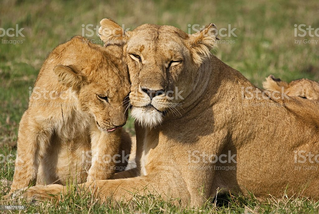 Lion Cub and Mother stock photo