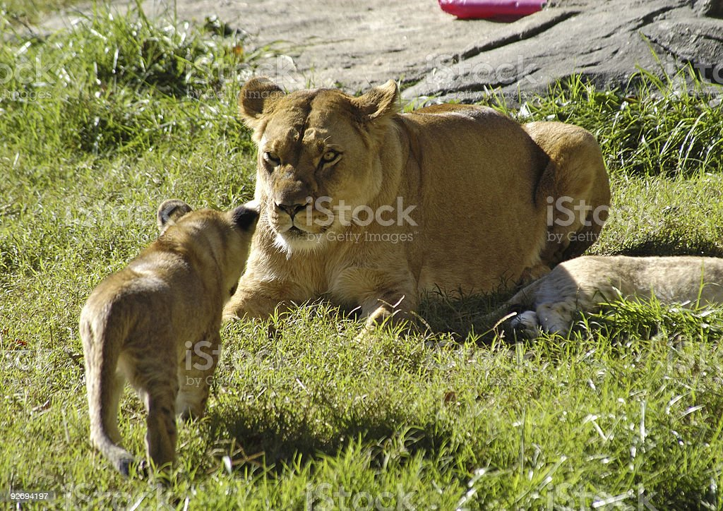 Lion Cub Approaching Mama royalty-free stock photo