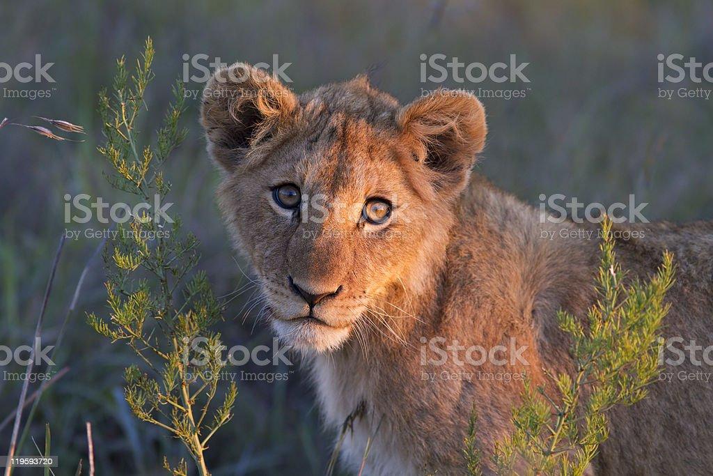 Lion cub close-up stock photo