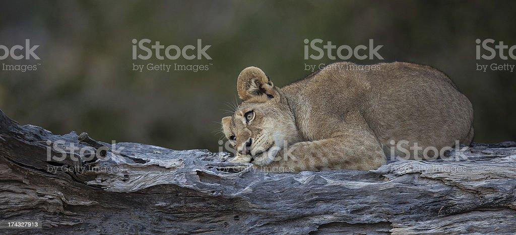 Lion Cub Dozing on Tree royalty-free stock photo