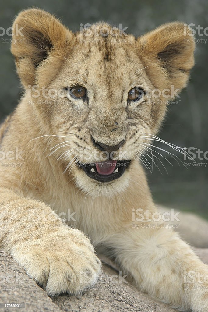 Lion cub growling royalty-free stock photo