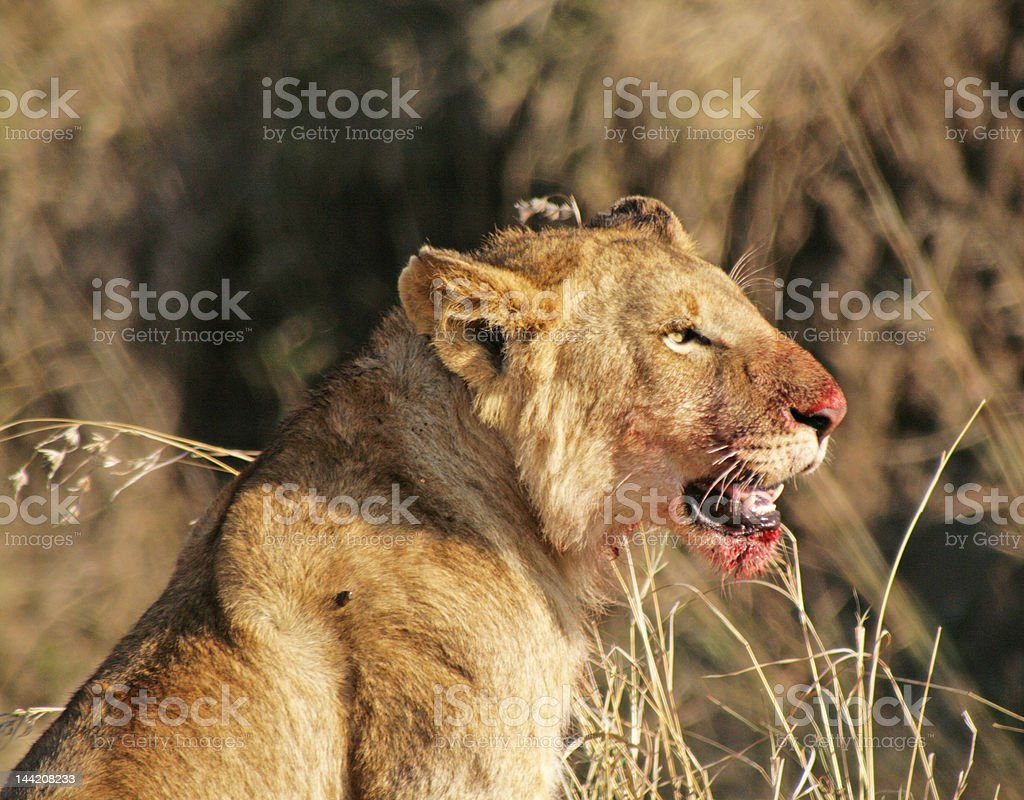 Lion Cub in Masi Mara after Eating royalty-free stock photo