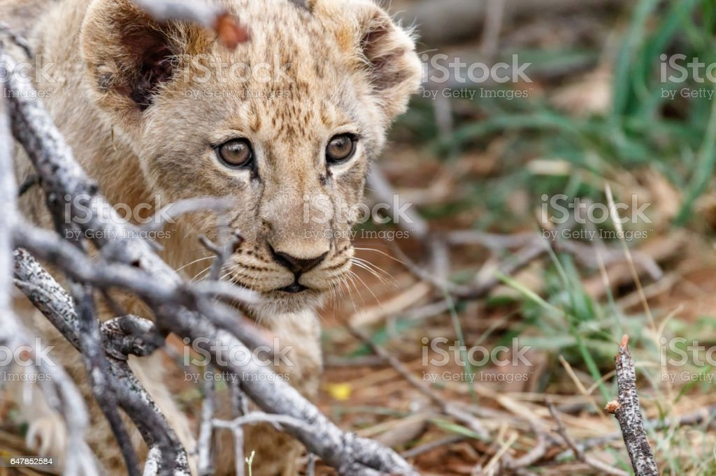 lion cub in South Africa stock photo