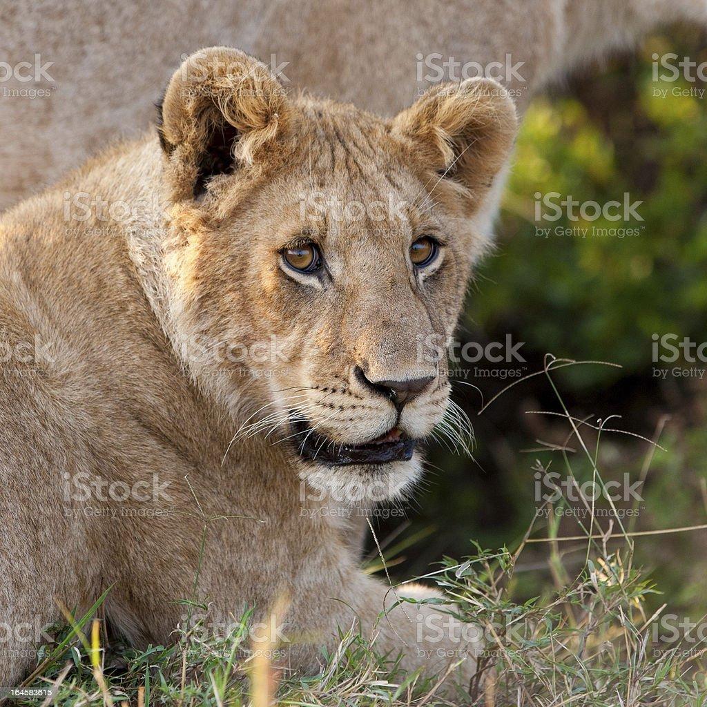 Lion cub in the Maasai Mara royalty-free stock photo