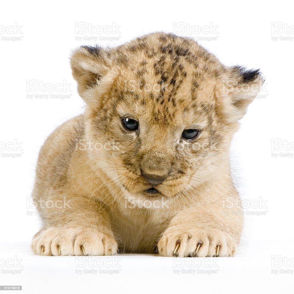 Lion Cub lying down royalty-free stock photo