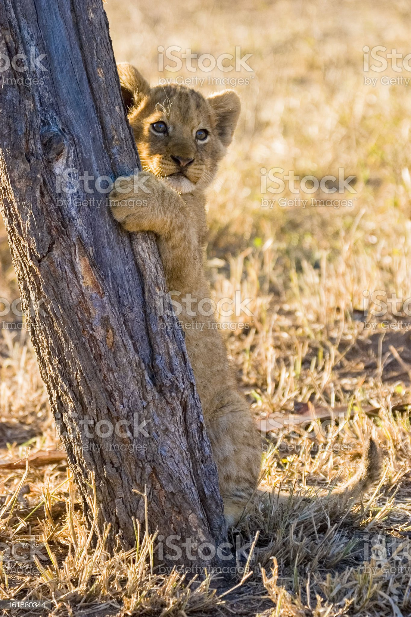 Lion cub, Mpumalanga Province, South Africa royalty-free stock photo