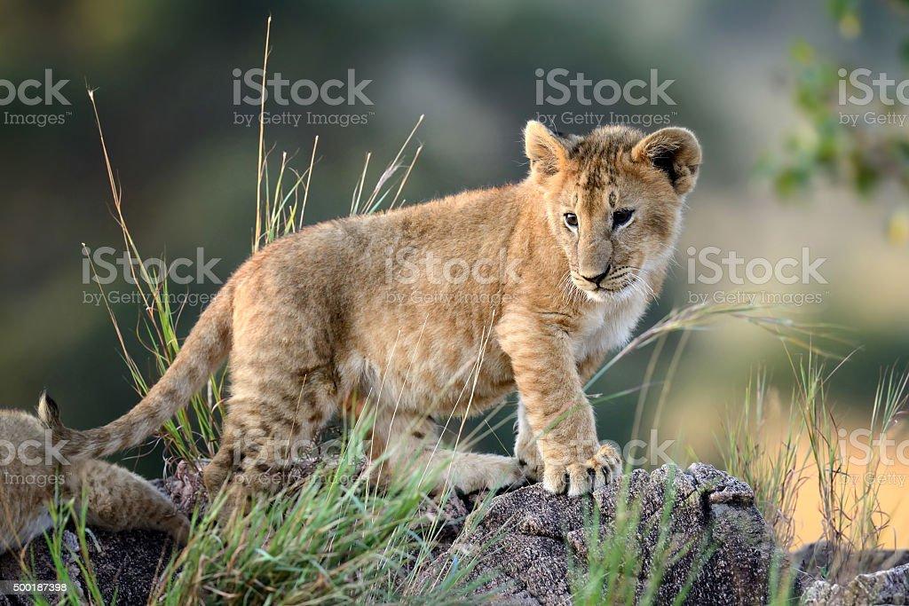Lion cub, National park of Kenya, Africa stock photo