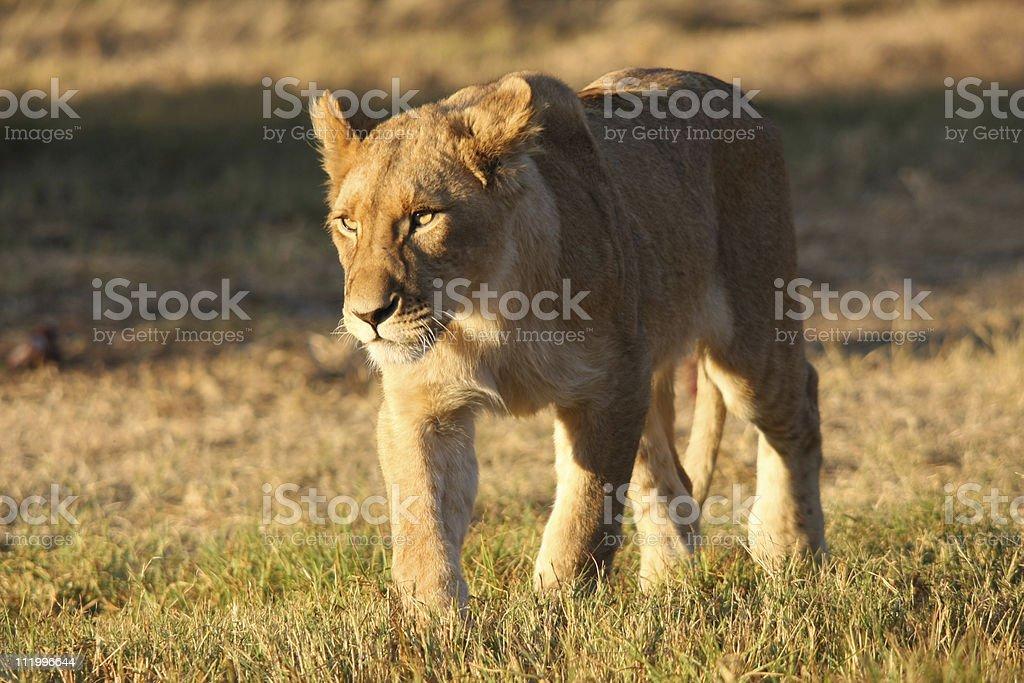 lion cub royalty-free stock photo