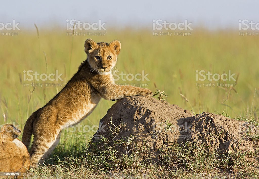 Lion Cub royalty-free stock photo