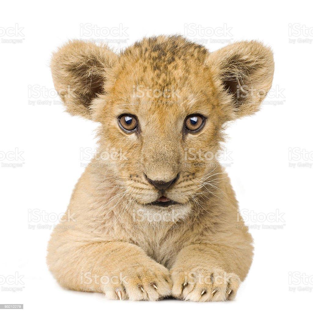 Lion Cub (3 months) stock photo