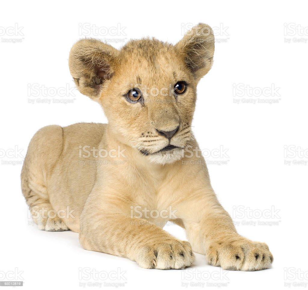 Lion Cub (4 months) stock photo