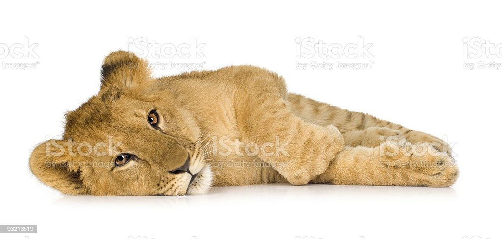 Lion Cub (6 months) royalty-free stock photo