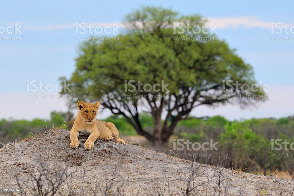 Lion cub resting on a termite mount stock photo