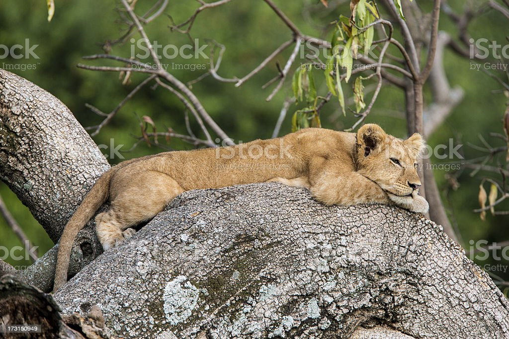 Lion cub resting on a tree royalty-free stock photo