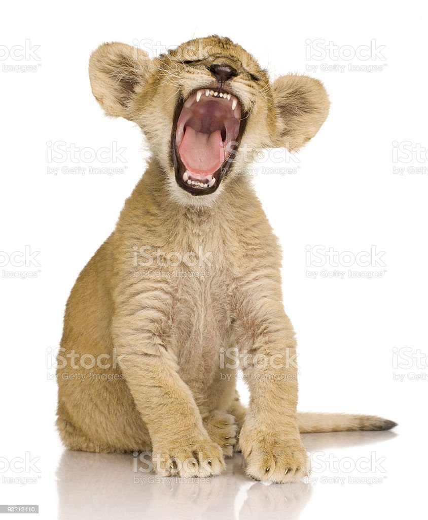 Lion Cub roaring isolated on white background (3 months old) stock photo
