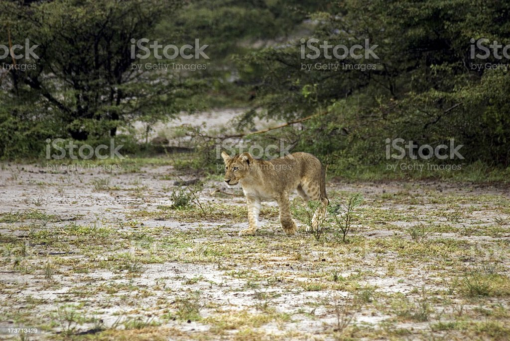 Lion cub, Selous National Park, Tanzania stock photo