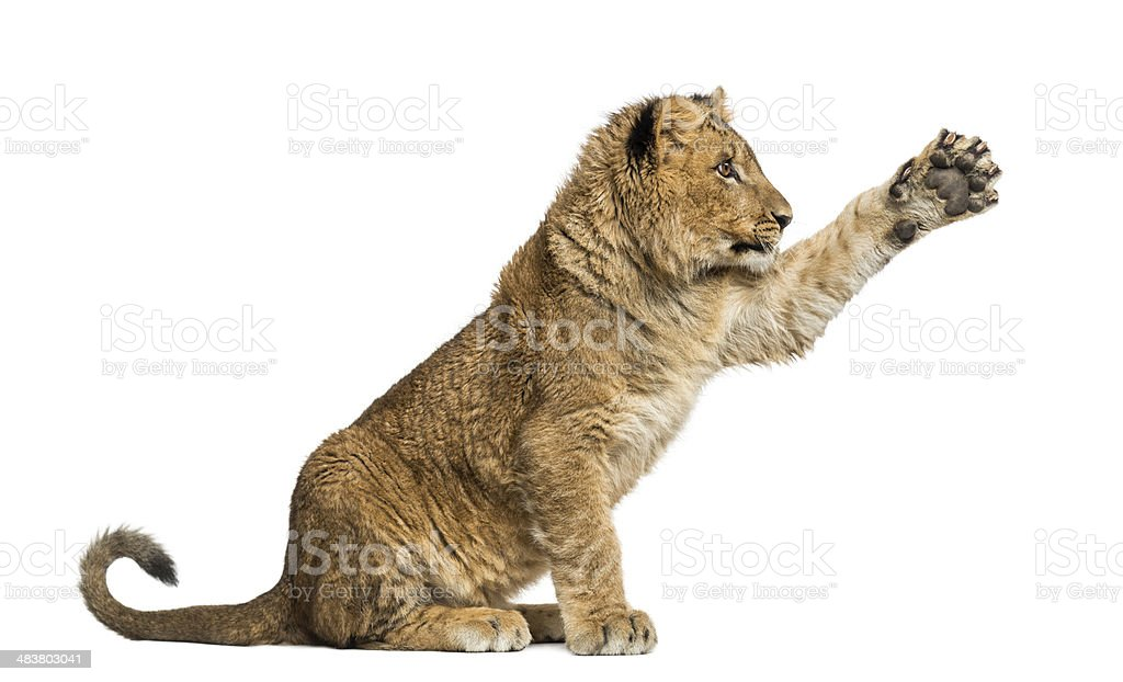 Lion cub sitting and pawing up stock photo