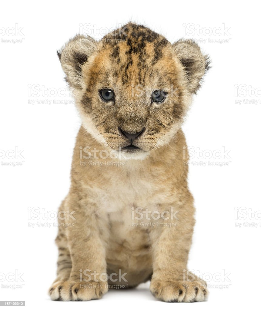 Lion cub sitting, facing, 4 weeks old, isolated on white stock photo