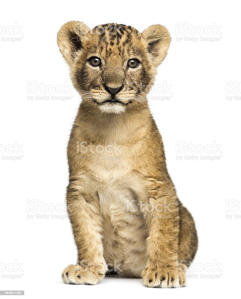 Lion cub sitting, looking at the camera, 7 weeks old stock photo