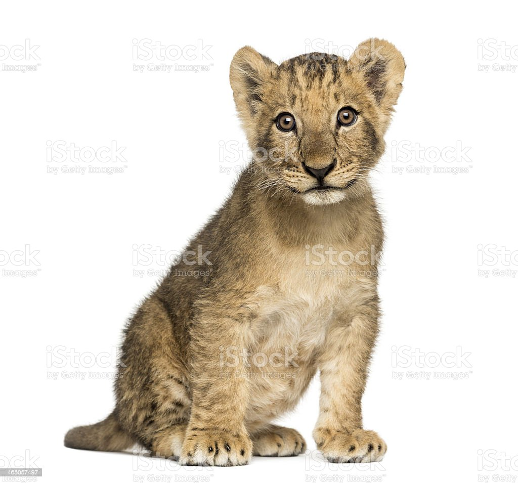 Lion cub sitting old, looking at the camera, 10 weeks stock photo