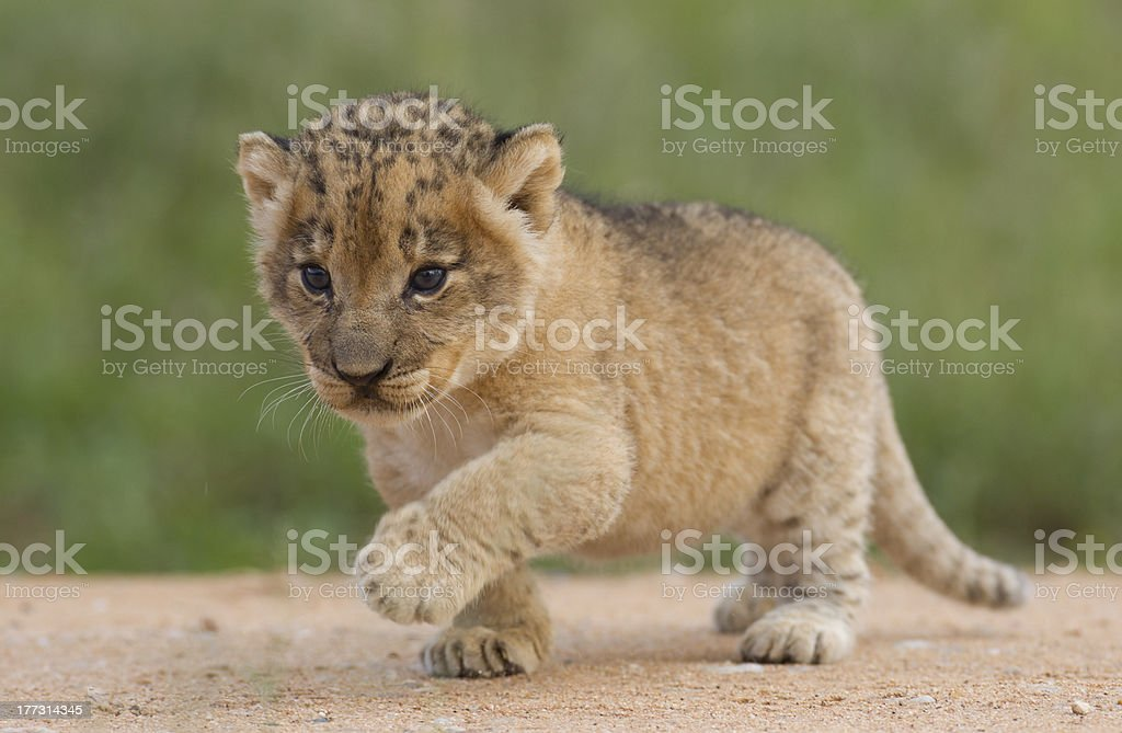 Lion cub, South Africa stock photo
