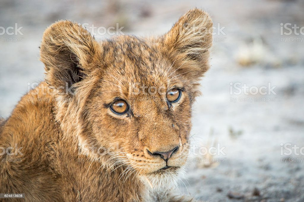 Lion cub starring at the camera. stock photo