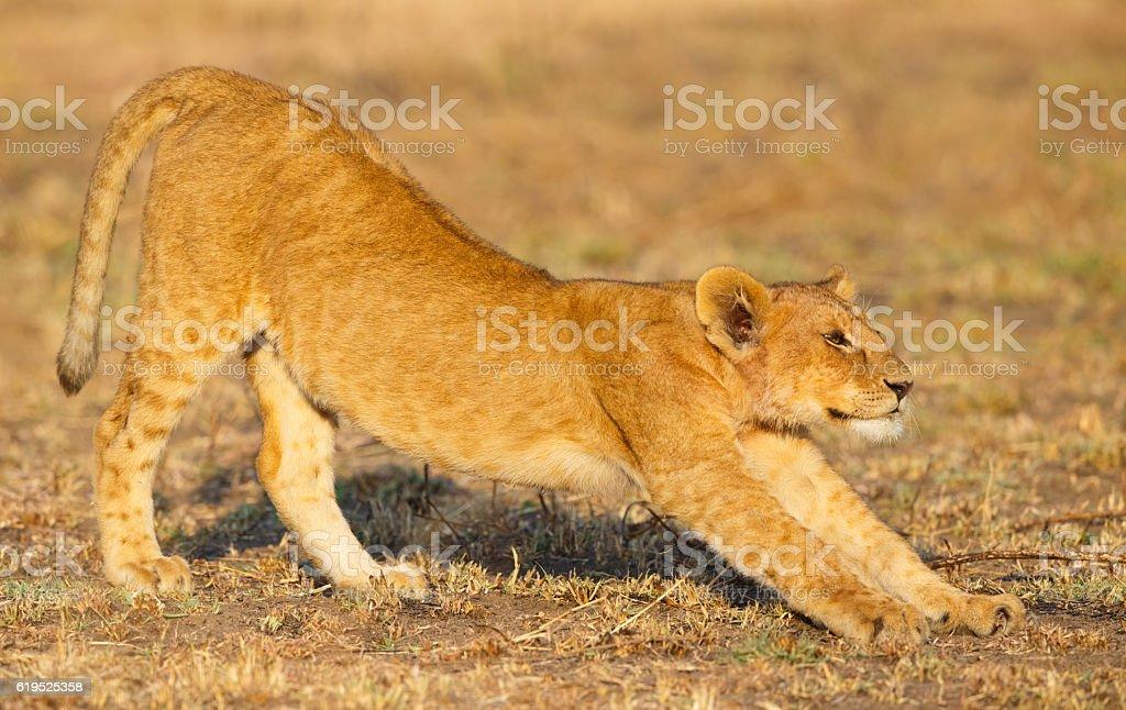 Lion Cub Stretching in Serengeti National Park, Tanzania Africa stock photo