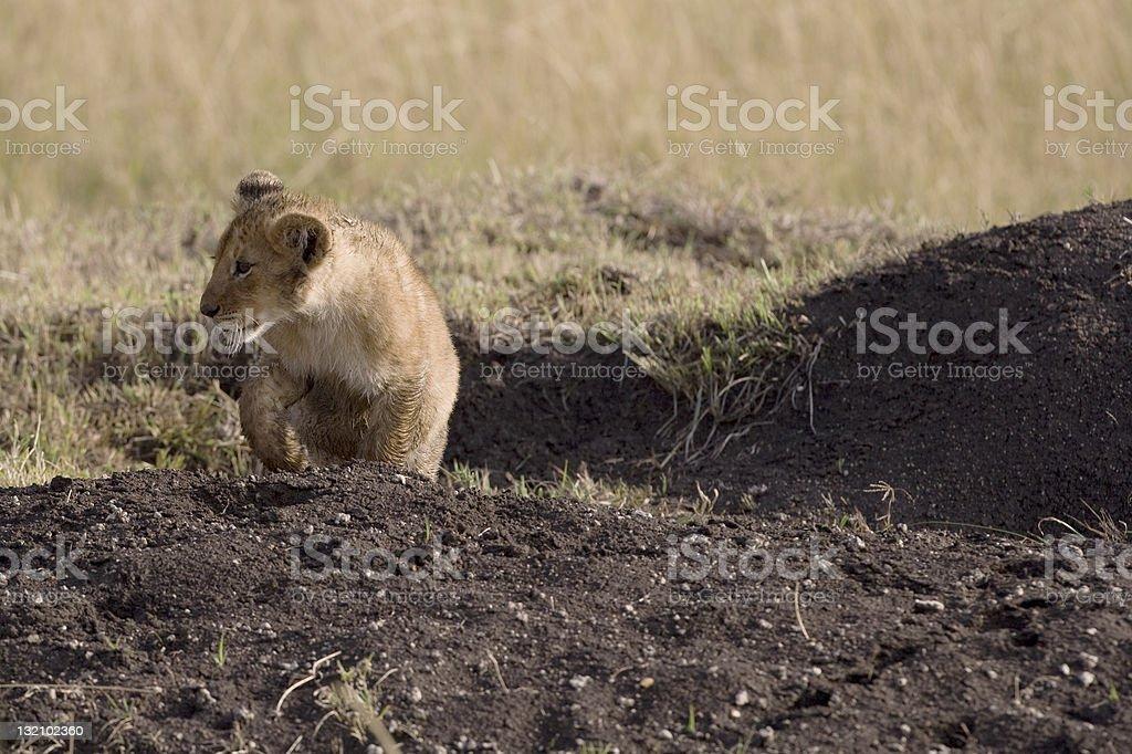 Lionceau marchant sur la Masai Mara, Kenya photo libre de droits
