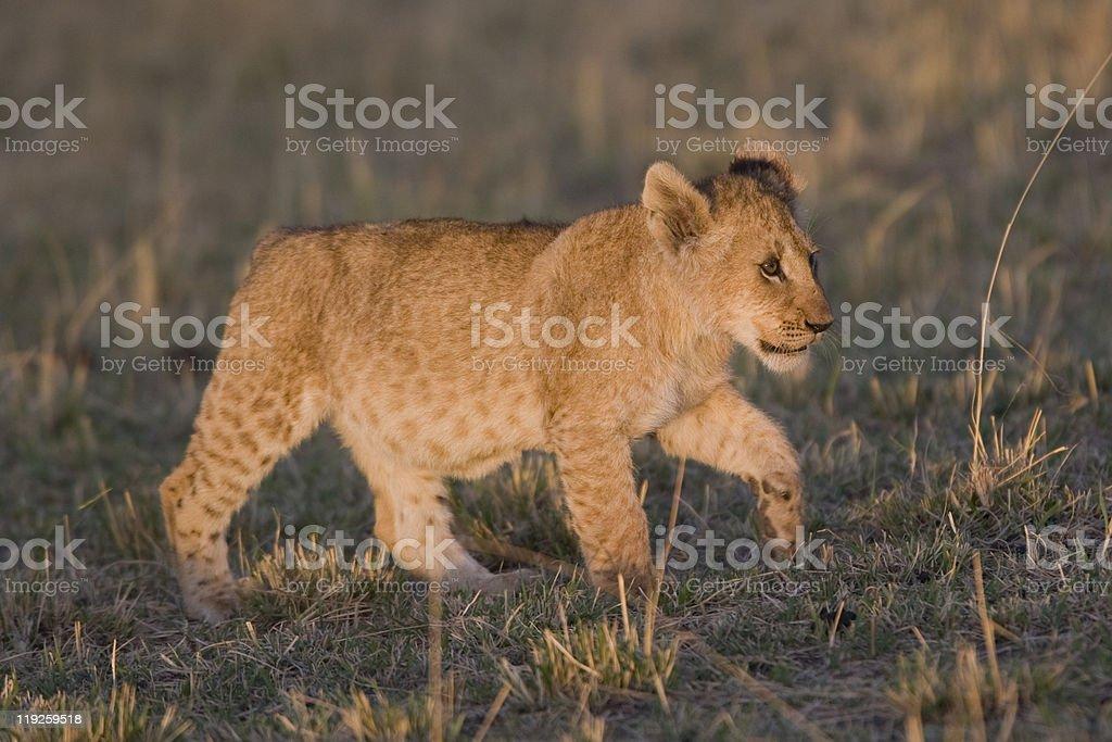 Lionceau marchant en face du Masaï Mara photo libre de droits