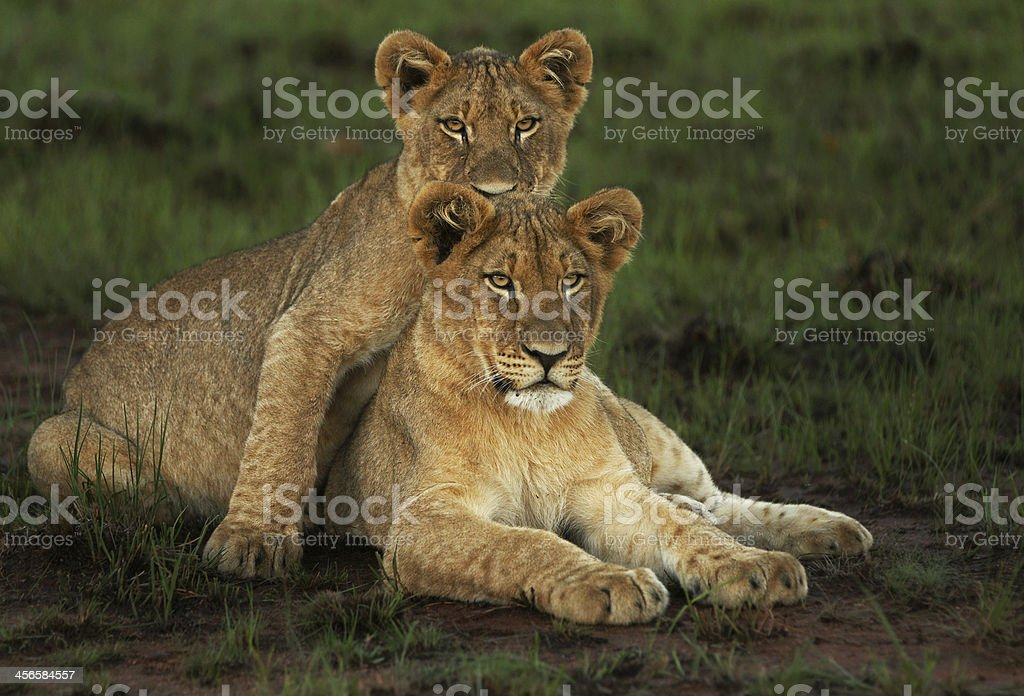Lion Cubs in Green Grass stock photo