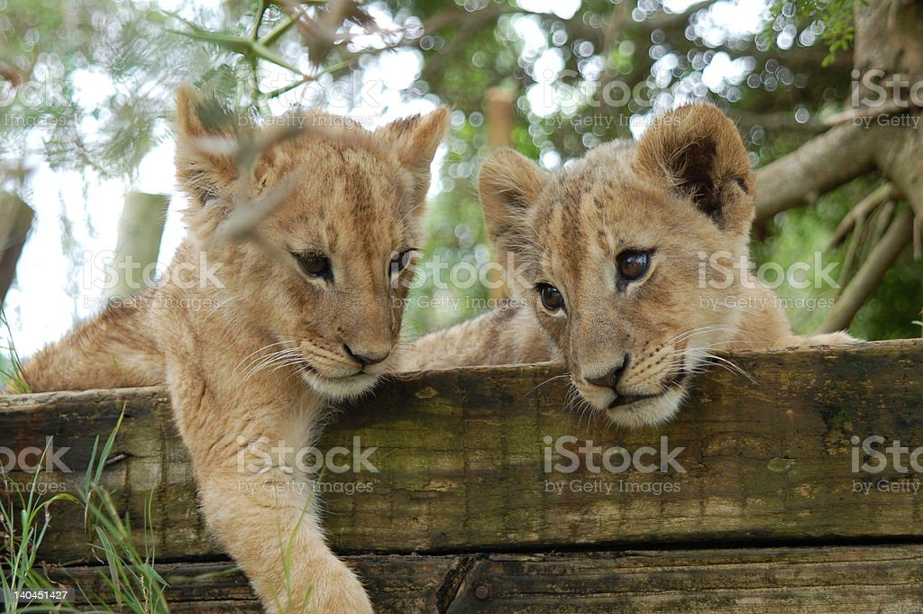 lion cubs on logs stock photo