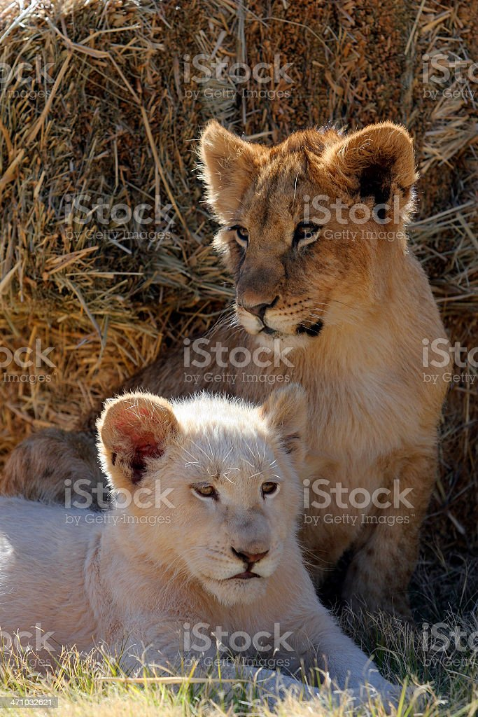 Lion Cubs royalty-free stock photo