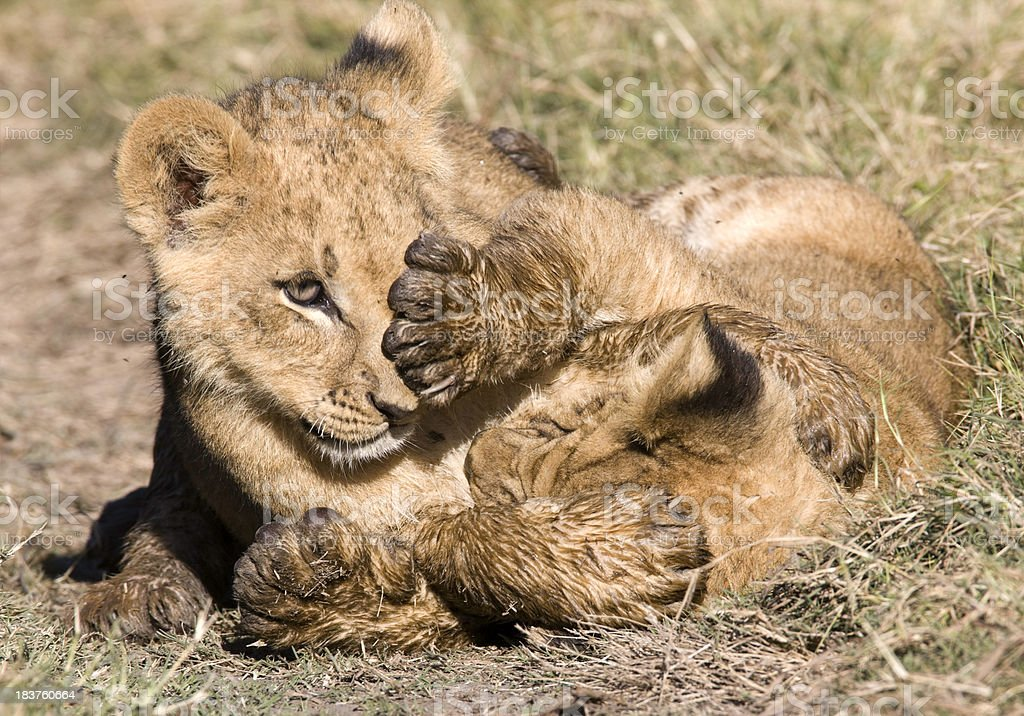 Lion Cubs Play Fighting royalty-free stock photo