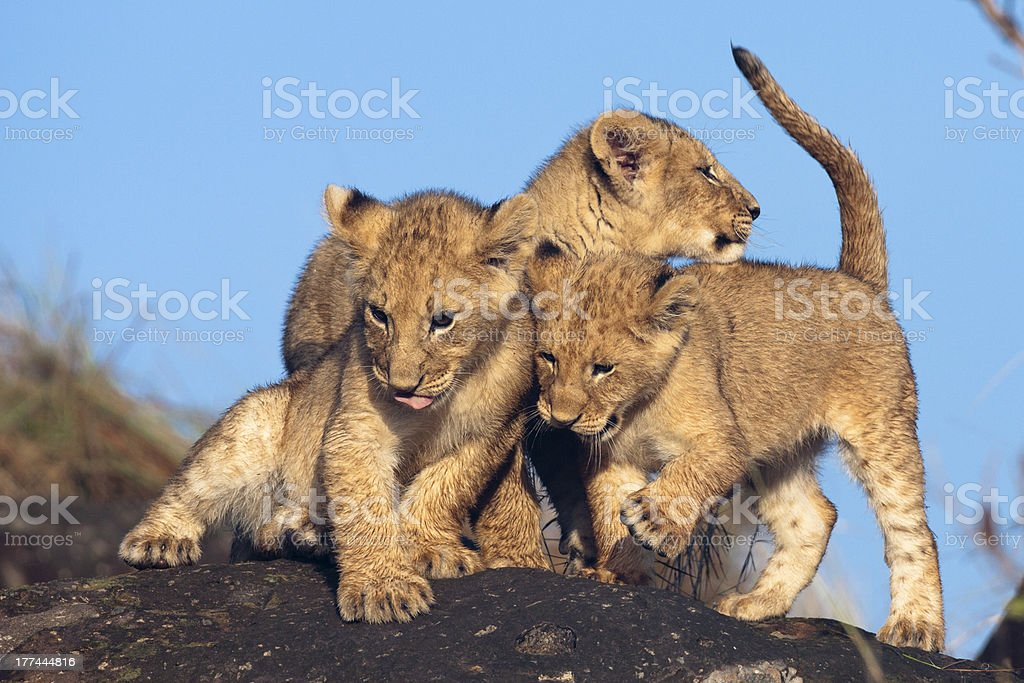 Lion cubs ( Panthera leo )playing on rocks stock photo