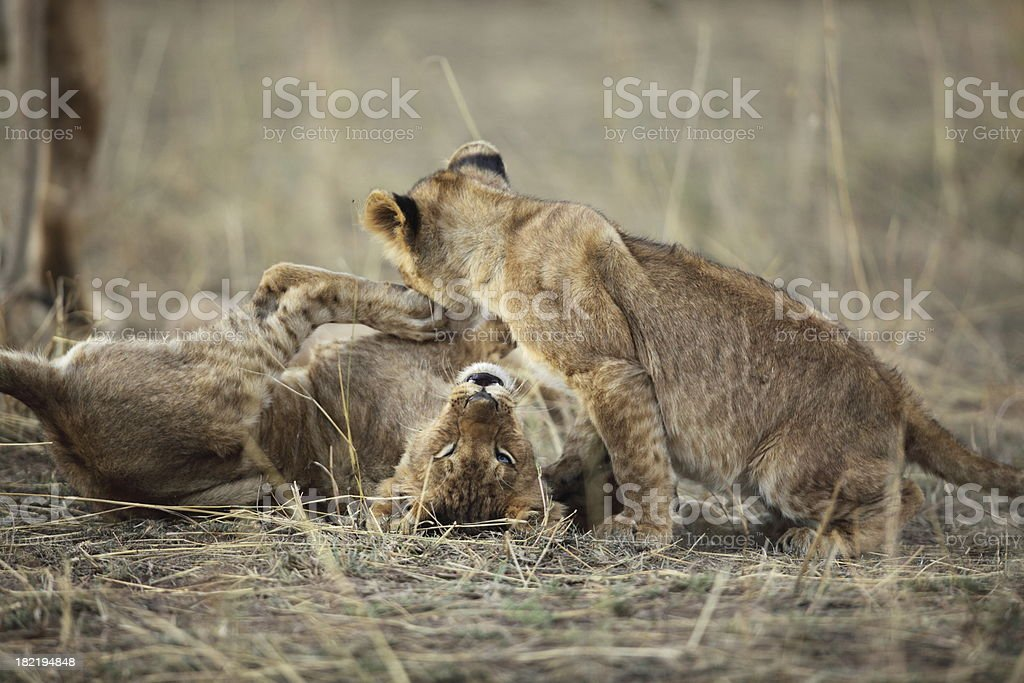 Lion cubs playing royalty-free stock photo