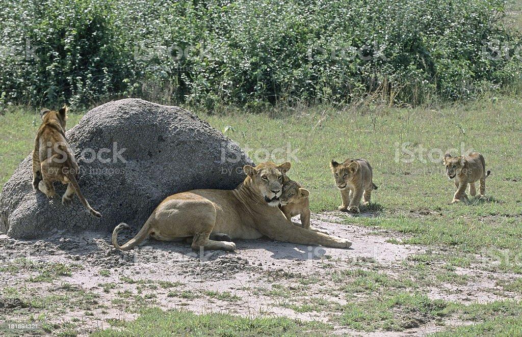 Lion cubs Queen Elizabeth National Park Uganda royalty-free stock photo
