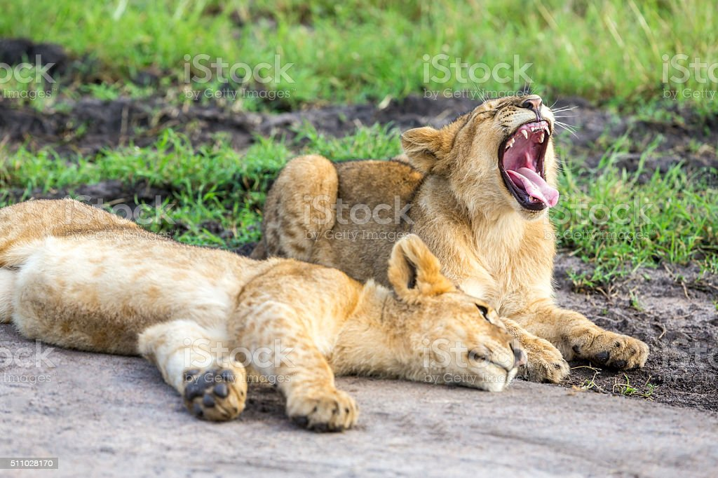 Lion Cubs Resting stock photo